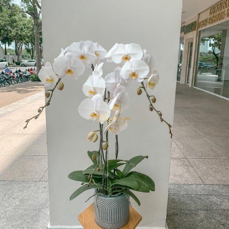 Chậu hoa lan hồ điệp trắng 3 cành - HLNK05
